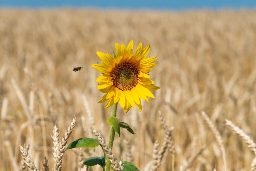 Biene und Sonnenblume Pixabay
