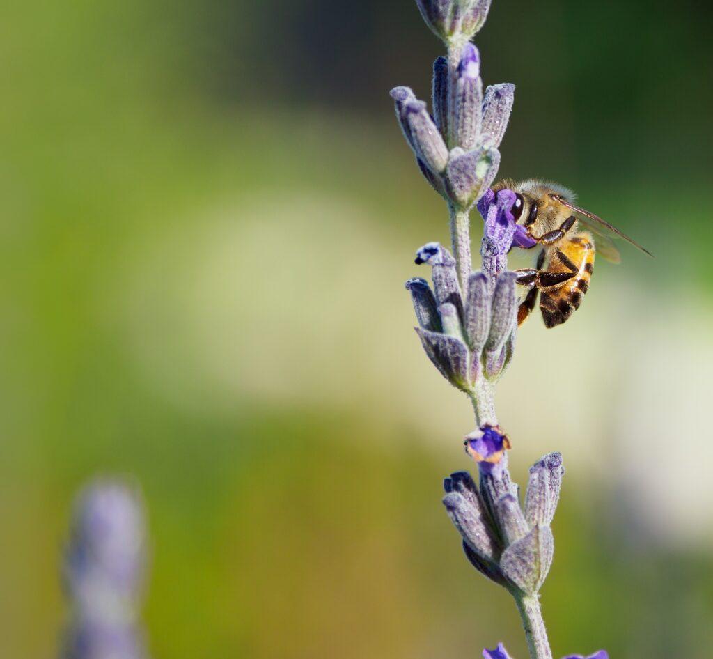 Honigbiene auf Lavendel Pixabay