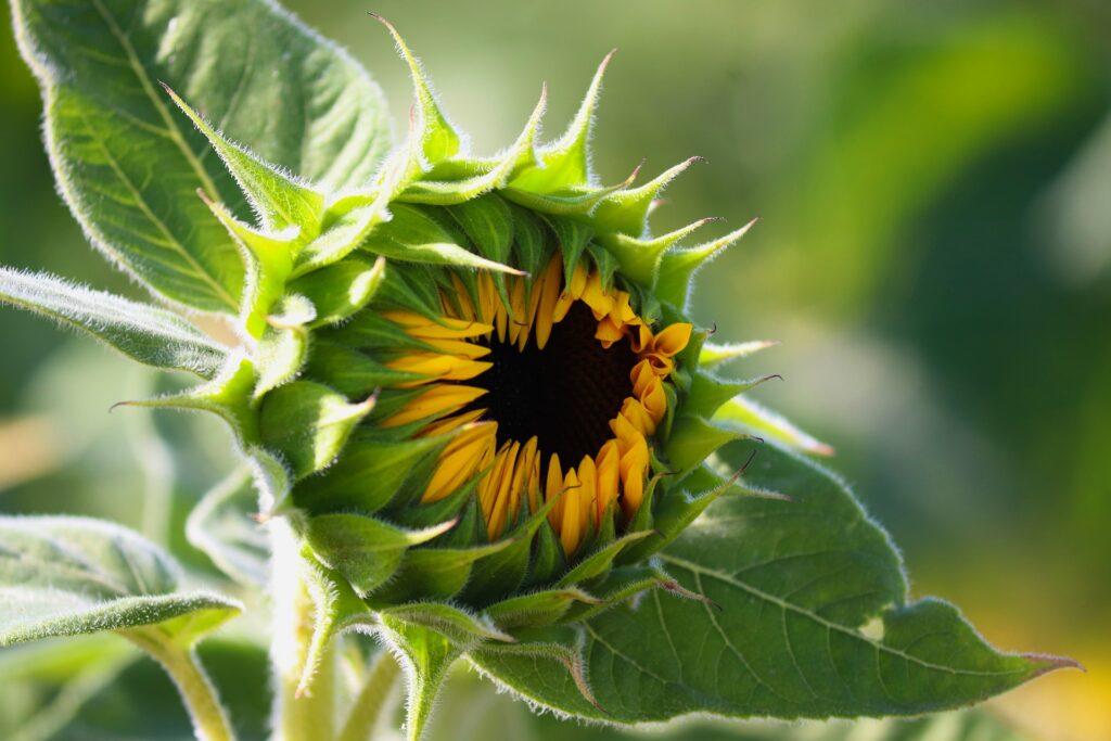 Sonnenblume Pixabay